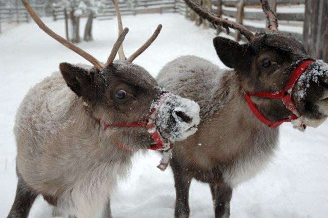 Real Reindeer hire essex london